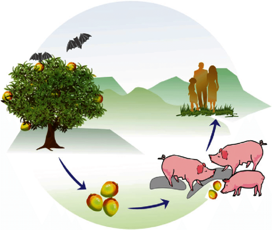 Nipah-virus-transmission-cycle-in-Malaysia-Pteropid-fruit-bats-are-the-natural-reservoir
