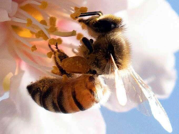धरती से गायब क्यों हो रहीं मधुमक्खियां?